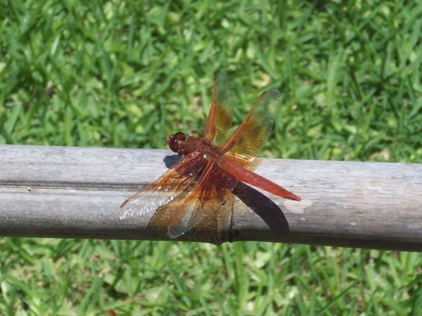 Dragonfly photo from Huntington Library, Museum, and Botanical Garden in Pasadena, CA