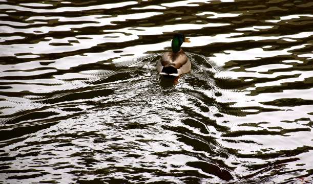 Patterns in water behind the duck