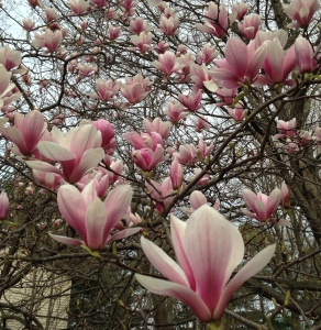 The pattern of the magnolia blossoms
