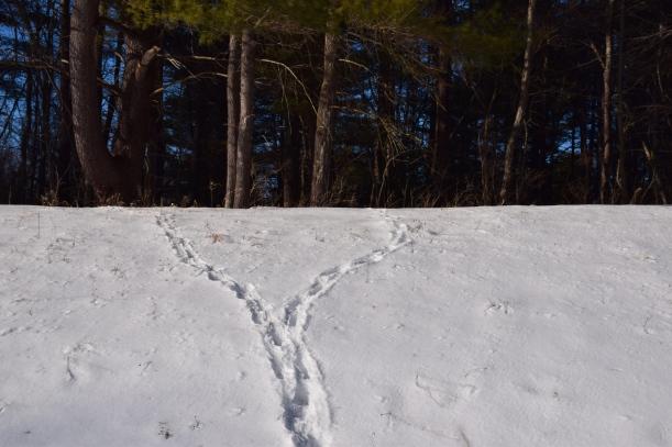 Deer trails