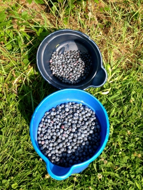 Freshly Picked Blueberries from Winnie Farm in Schyulervile, NY