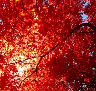 Glow of autumn leaves