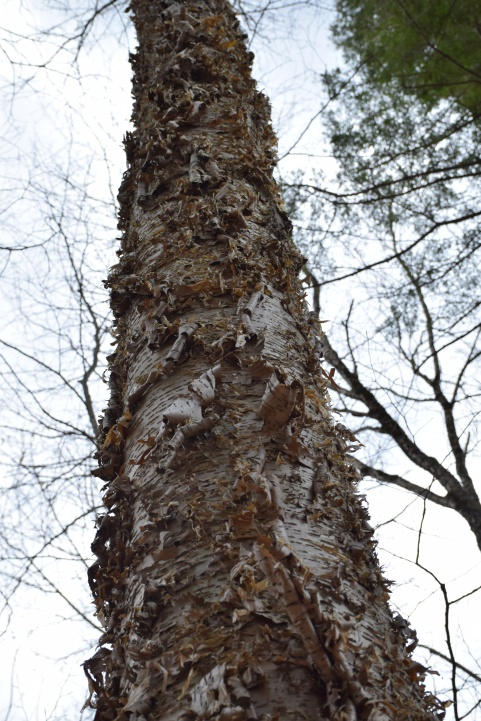 Shedding bark