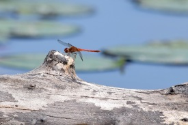 Summer with dragonflies