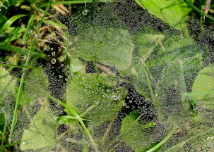Spider webs decorated in dew
