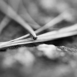 Pine needles on ground