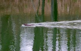 Beaver in pond