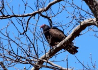 Turkey Vulture in nature