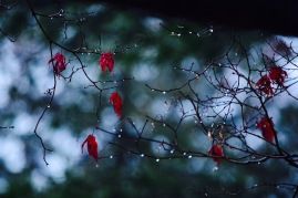 Natures diamonds dangling on a branch