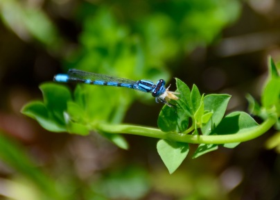 Damselfly caught eating